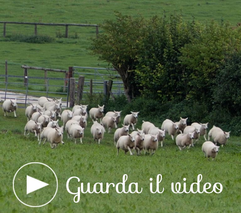 Agnello britannico, il video
